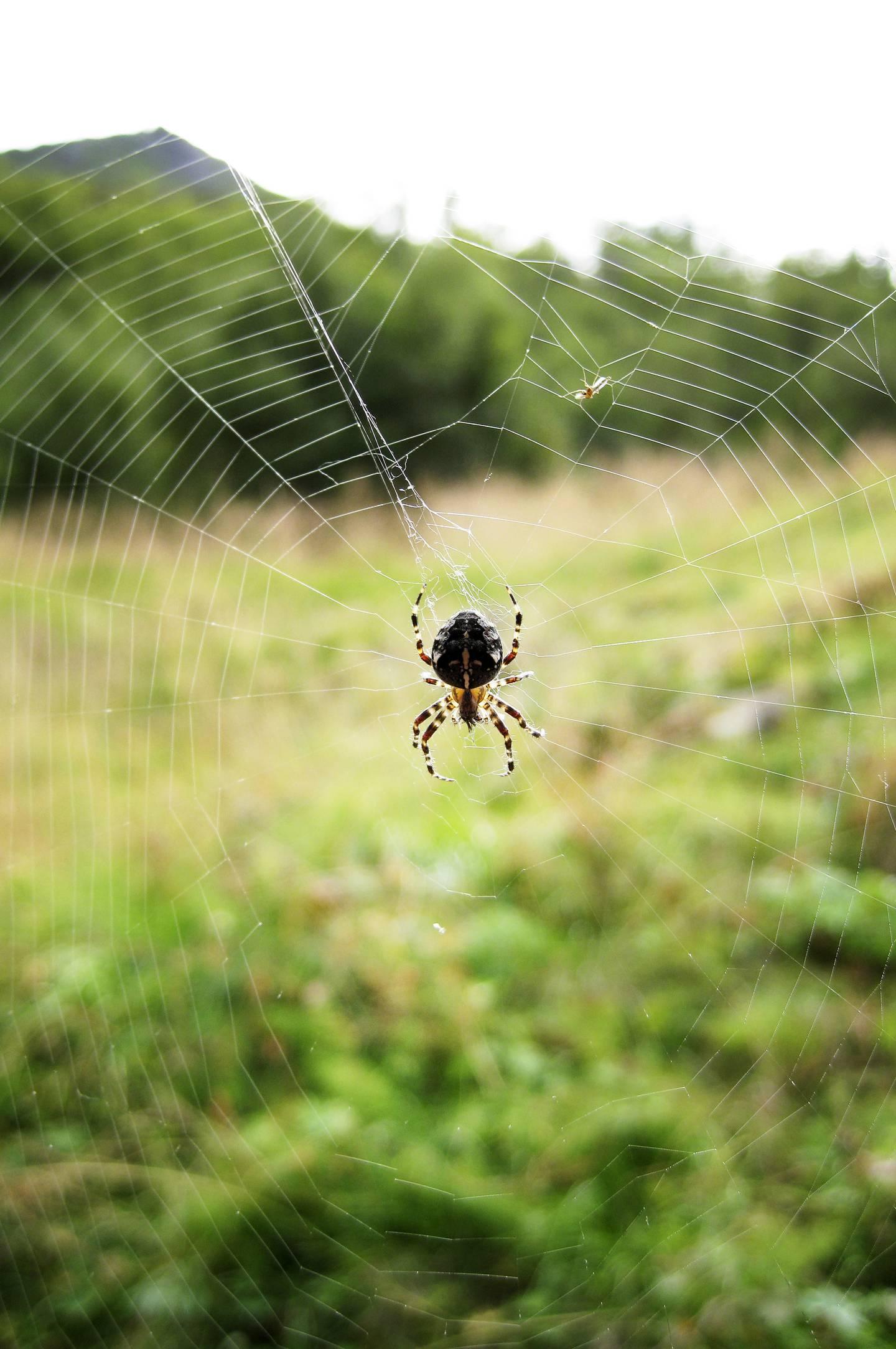 ALDERSUNDET 2008-08-08: Edderkopp som spinner. Edderkopp som sitter i midten av et edderkoppnett.