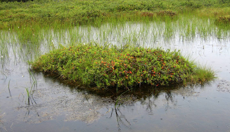 Sigdal 20070921 : På en liten øy midt i en myr fristet multene, men akk så uoppnåelige. Multe, molte, multemyr, myr. Foto: Lise Åserud / NTB (FRB)