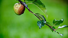 Lukta av eple