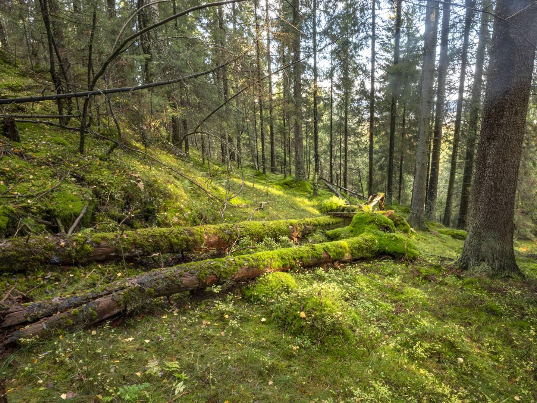 Hogst av gammel skog ved Marikollen, Fjerdingbyhøgda i Rælingen