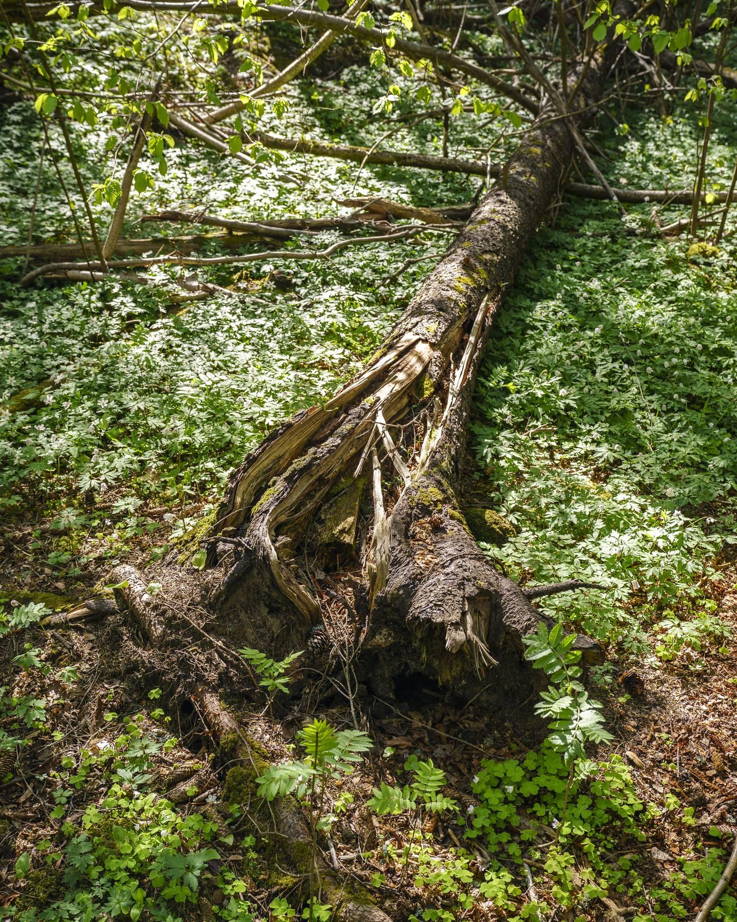 Jon Bjartnes WWF, skog, karbonlagring, natur, naturinngrep, nedbygging av natur