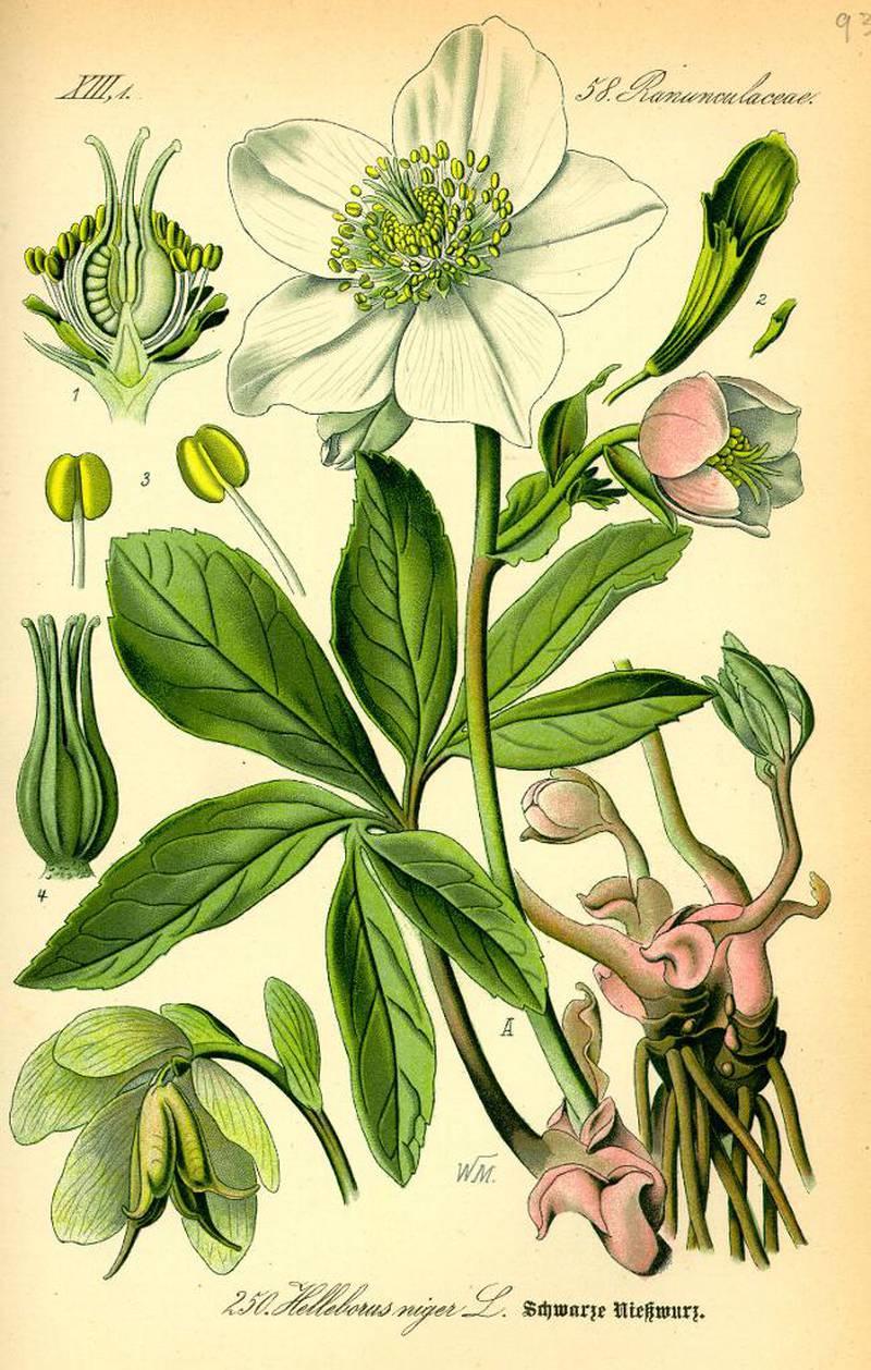 I Norden var den hvite julerosen oppført som medisinplante allerede på 1300-tallet. I dag regnes den som svært giftig.